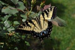 Τίγρη Swallowtail Στοκ Εικόνες