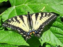 Τίγρη Swallowtail Στοκ φωτογραφίες με δικαίωμα ελεύθερης χρήσης