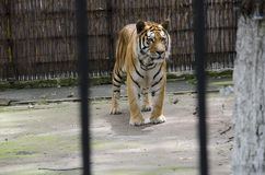 Τίγρη Tiberian Στοκ φωτογραφίες με δικαίωμα ελεύθερης χρήσης