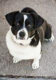 Τίμιο σκυλί Στοκ Εικόνες