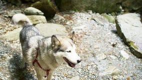 Τίναγμα σκυλιών Malamute από το νερό στις όχθεις του ποταμού βουνών με τις πέτρες στο φυσικό πάρκο ζουγκλών στα βουνά Επάνω απόθεμα βίντεο