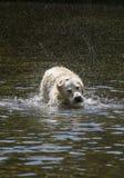 Τίναγμα σκυλιών στο νερό Στοκ Φωτογραφίες