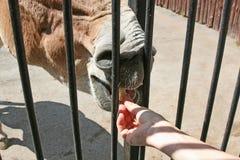Ταΐζοντας άλογα στο ζωολογικό κήπο Στοκ εικόνα με δικαίωμα ελεύθερης χρήσης