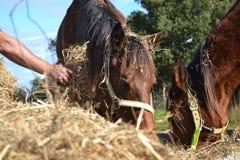 Ταΐζοντας άλογα Στοκ Φωτογραφία