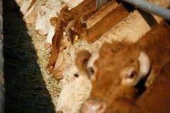 Ταΐζοντας αγελάδες Στοκ Εικόνες