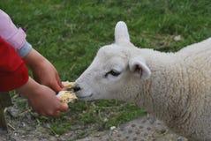 ταΐζοντας αρνί Στοκ φωτογραφία με δικαίωμα ελεύθερης χρήσης