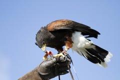 ταΐζοντας αρπακτικό πτηνό στοκ φωτογραφίες με δικαίωμα ελεύθερης χρήσης