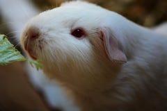 Ταΐζοντας λευκιά Γουινέα Στοκ φωτογραφίες με δικαίωμα ελεύθερης χρήσης