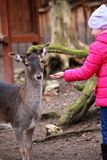 Ταΐζοντας ελάφια μικρών κοριτσιών στο ζωολογικό κήπο Στοκ εικόνα με δικαίωμα ελεύθερης χρήσης