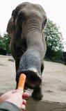 Ταΐζοντας ελέφαντας με το καρότο Στοκ Εικόνες