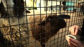 Ταΐζοντας ζώα μέσω του φράκτη απόθεμα βίντεο