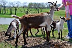 ταΐζοντας κατοικίδιο ζώο αιγών Στοκ Φωτογραφίες