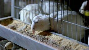 Ταΐζοντας κοτόπουλα ορτυκιών στο σπίτι κοτών στο φάρμα πουλερικών απόθεμα βίντεο