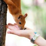 ταΐζοντας κόκκινος σκίουρος Στοκ Φωτογραφία