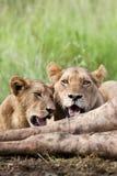 ταΐζοντας λιοντάρια Στοκ Φωτογραφία