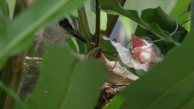 Ταΐζοντας νεοσσοί 2 μητέρων πουλιών απόθεμα βίντεο