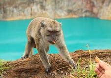Ταΐζοντας πίθηκος Στοκ Εικόνες