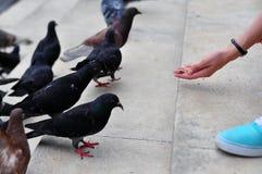 ταΐζοντας περιστέρια κορ Στοκ εικόνα με δικαίωμα ελεύθερης χρήσης