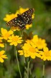Ταΐζοντας πεταλούδα Στοκ Φωτογραφία
