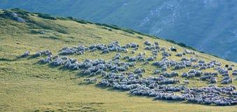 ταΐζοντας πρόβατα κοπαδιών χλόης Στοκ Φωτογραφίες