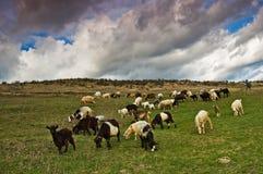 ταΐζοντας πρόβατα κοπαδιών χλόης Στοκ εικόνες με δικαίωμα ελεύθερης χρήσης