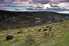 ταΐζοντας πρόβατα κοπαδιών χλόης Στοκ Εικόνες