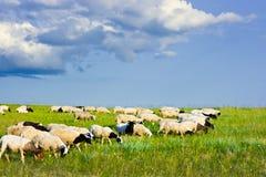 ταΐζοντας πρόβατα Στοκ Εικόνα