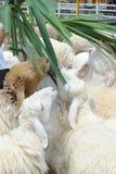 Ταΐζοντας πρόβατα στοκ εικόνες