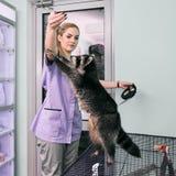 Ταΐζοντας ρακούν κτηνιάτρων Στοκ Εικόνες