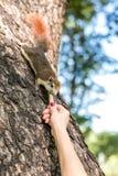 Ταΐζοντας σκίουρος κοριτσιών Στοκ εικόνα με δικαίωμα ελεύθερης χρήσης