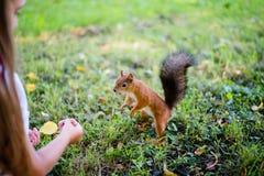 Ταΐζοντας σκίουρος μικρών κοριτσιών στο πάρκο Στοκ εικόνες με δικαίωμα ελεύθερης χρήσης