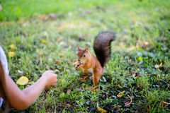 Ταΐζοντας σκίουρος μικρών κοριτσιών στο πάρκο Στοκ Εικόνα