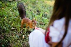 Ταΐζοντας σκίουρος μικρών κοριτσιών στο πάρκο Στοκ Εικόνες