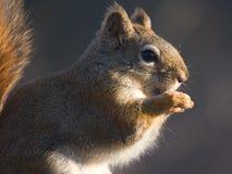 ταΐζοντας σκίουρος Στοκ Εικόνα