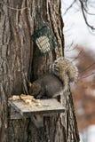 ταΐζοντας σκίουρος Στοκ Φωτογραφία