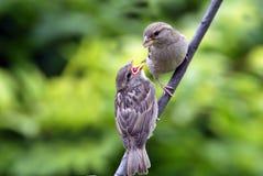 ταΐζοντας σπουργίτι σπιτ& Στοκ φωτογραφία με δικαίωμα ελεύθερης χρήσης