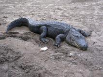 Ταΐζοντας τον αμερικανικό κροκόδειλο - acutus crocodylus. Στοκ φωτογραφίες με δικαίωμα ελεύθερης χρήσης