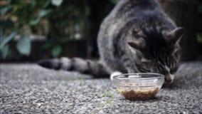 Ταΐζοντας χαριτωμένη εσωτερική κοντή γάτα τρίχας κήπος γατών τιγρέ φιλμ μικρού μήκους