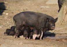 Ταΐζοντας χοιρίδια θηλυκών χοίρων Στοκ φωτογραφία με δικαίωμα ελεύθερης χρήσης