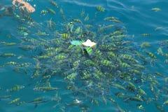 Ταΐζοντας ψάρια σε μια τροπική θάλασσα Phi Phi στο νησί σε Krabi Στοκ Εικόνες