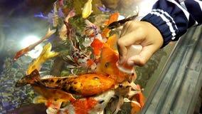 Ταΐζοντας ψάρια στο ενυδρείο απόθεμα βίντεο