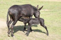 Ταΐζοντας foal γαιδάρων Στοκ εικόνα με δικαίωμα ελεύθερης χρήσης