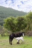 ταΐζοντας foal μωρών το λευκό μητέρων του Στοκ Εικόνα