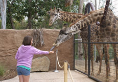 Ταΐζοντας Giraffe νέων κοριτσιών Στοκ Φωτογραφία
