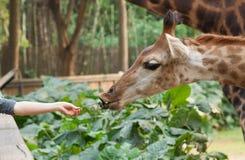 ταΐζοντας giraffe Στοκ Φωτογραφία
