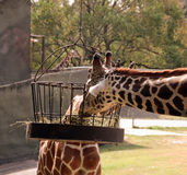 ταΐζοντας giraffes δύο Στοκ φωτογραφίες με δικαίωμα ελεύθερης χρήσης