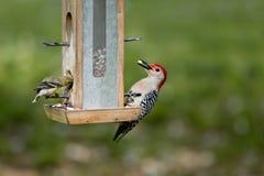 ταΐζοντας goldfinch δρυοκολάπτ&et Στοκ Φωτογραφία