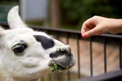 Ταΐζοντας llama με το χέρι στοκ εικόνες