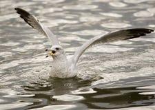 ταΐζοντας seagull Στοκ εικόνα με δικαίωμα ελεύθερης χρήσης