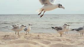 Ταΐζοντας seagulls στην ακτή της Μαύρης Θάλασσας Παλεύουν για ένα κομμάτι του ψωμιού απόθεμα βίντεο